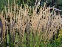 calamagrostis_x_acutiflora_karl_foerster