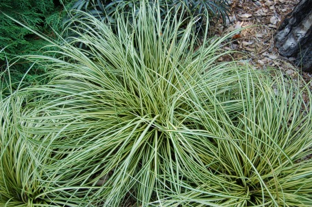 evergold_sedge_carex_oshimensis_evergold_plant_3008px