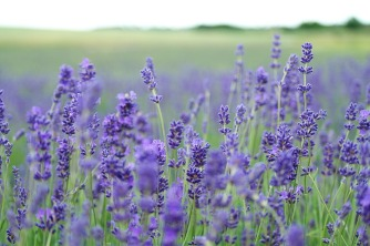 lavender-field-1031258_960_720